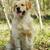 golden · retriever · hond · lopen · lopen · grappig · jonge - stockfoto © goroshnikova