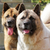 two dogs Akita inu together looking to one side closeup stock photo © goroshnikova