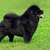 beautiful dog breed chow chow rare black color is to show the po stock photo © goroshnikova