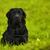 fekete · labrador · fű · nyár · hamar · kutya - stock fotó © goroshnikova
