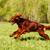dog irish setter running stock photo © goroshnikova