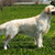 beautiful purebred dog Golden Retriever standing stock photo © goroshnikova