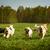 large group of dogs Golden retrievers running  stock photo © goroshnikova