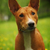 cute dog basenji looking stock photo © goroshnikova