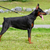 Doberman Pinscher dog stock photo © goroshnikova