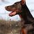 purebred brown dog Doberman stock photo © goroshnikova