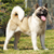 dog breed akita inu stands to show the position stock photo © goroshnikova