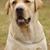 gyönyörű · fajtiszta · őzgida · kutya · labrador · labrador · retriever - stock fotó © goroshnikova