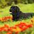 black dog labrador retriever is among the flower stock photo © goroshnikova