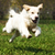 Happy dog Golden Retriever quickly runs and jumps stock photo © goroshnikova