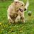 Golden Retriever plays stock photo © goroshnikova