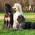 three dogs breed afghan hound stock photo © goroshnikova