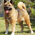 purebred red dog akita inu standing in the show position stock photo © goroshnikova