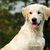 kutyakölyök · golden · retriever · vicces · nyár · portré · fiatal - stock fotó © goroshnikova