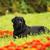 purebred black dog labrador retriever stock photo © goroshnikova
