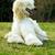 Dog Afghan Hound stock photo © goroshnikova