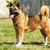 dog breed akita inu stands stock photo © goroshnikova