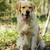 golden · retriever · bahçe · resim · genç · köpek · doğa - stok fotoğraf © goroshnikova