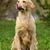 kutya · golden · retriever · ajkak · ül · fű · portré - stock fotó © goroshnikova