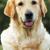 mutlu · köpek · golden · retriever · yaz · doğa - stok fotoğraf © goroshnikova