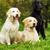 dois · golden · retriever · cães · ao · ar · livre · ensolarado - foto stock © goroshnikova