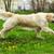 Beautiful happy dog Golden Retriever running around and playing stock photo © goroshnikova