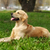 mutlu · köpek · golden · retriever · portre · komik · genç - stok fotoğraf © goroshnikova