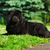 beautiful fluffy black dog chow lying in the summer on the natur stock photo © goroshnikova