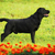 labrador retriever standing in the show position stock photo © goroshnikova
