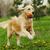 perro · golden · retriever · jugando · parque · verano · ejecutando - foto stock © goroshnikova