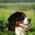 belo · feliz · bernese · mountain · dog · verão · ao · ar · livre · alto - foto stock © goroshnikova