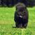 beautiful fluffy dog breed chow chow rare black color runs in th stock photo © goroshnikova