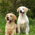 kettő · kutyák · arany · anya · kutyakölyök · haj - stock fotó © goroshnikova