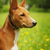 portrait of basenji dog stock photo © goroshnikova