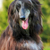 happy dog afghan hound stock photo © goroshnikova