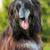 happy dog Afghan hound stock photo © goroshnikova