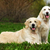 two family dogs a couple of golden retriever resting on grass i stock photo © goroshnikova