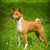 basenji is in the show position stock photo © goroshnikova