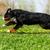 mutlu · çoban · köpeği · çalışma · alan · çim · doğa - stok fotoğraf © goroshnikova