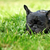sad dog French bulldog lying in the summer grass stock photo © goroshnikova