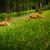 two dogs of the basenji breed happily running stock photo © goroshnikova