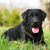 happy dog Labrador Retriever stock photo © goroshnikova