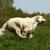 happy dog golden retriever runs stock photo © goroshnikova