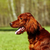 beautiful dog irish setter in summer stock photo © goroshnikova