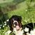 belo · feliz · cão · bernese · mountain · dog · flor · verão - foto stock © goroshnikova