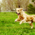 beautiful happy dog golden retriever running around and playing stock photo © goroshnikova