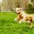 hermosa · feliz · perro · golden · retriever · ejecutando · alrededor - foto stock © goroshnikova