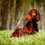 beautiful dog irish setter stock photo © goroshnikova