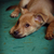 悲しい · 見 · 美しい · 犬 · ペット · 肖像 - ストックフォト © goroshnikova