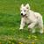 small funny puppy dogs golden retriever runs in the summer on a stock photo © goroshnikova